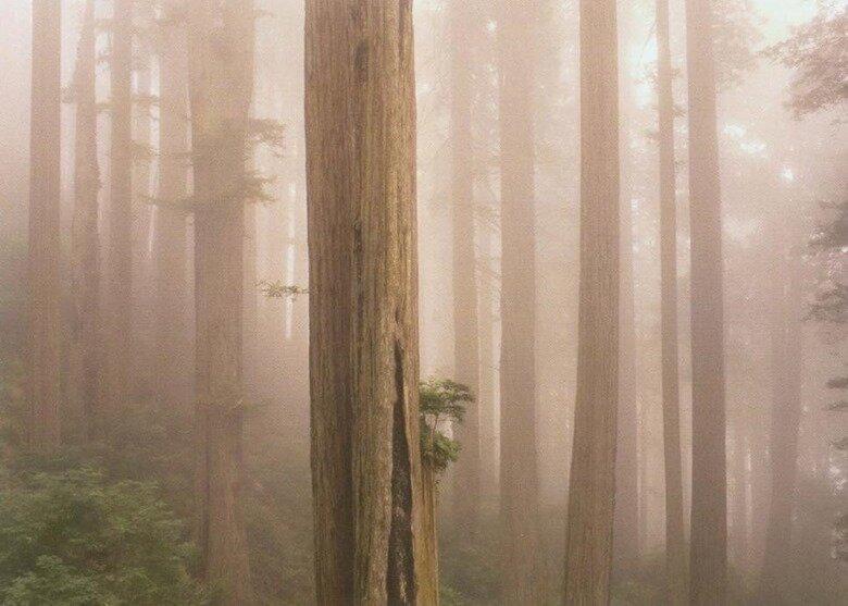 Секвойи в тумане