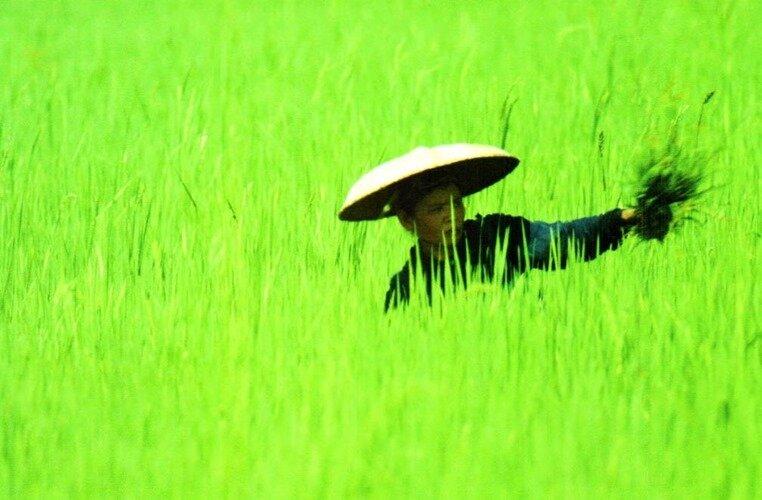 Крестьянин на рисовом поле