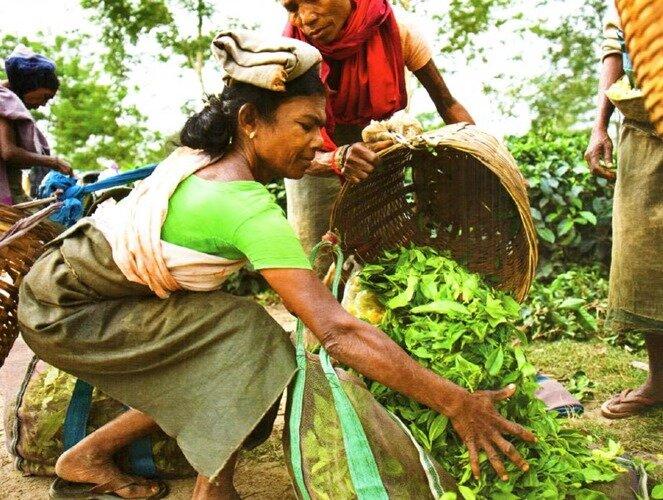 Сбор урожая чая. Ассам, 2009 г.